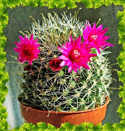 Kaktusblüte 002