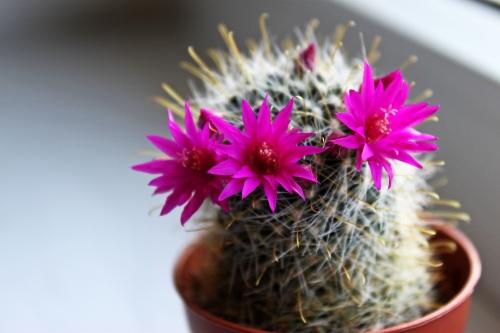 Kaktus 004