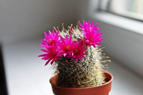 Kaktus 009